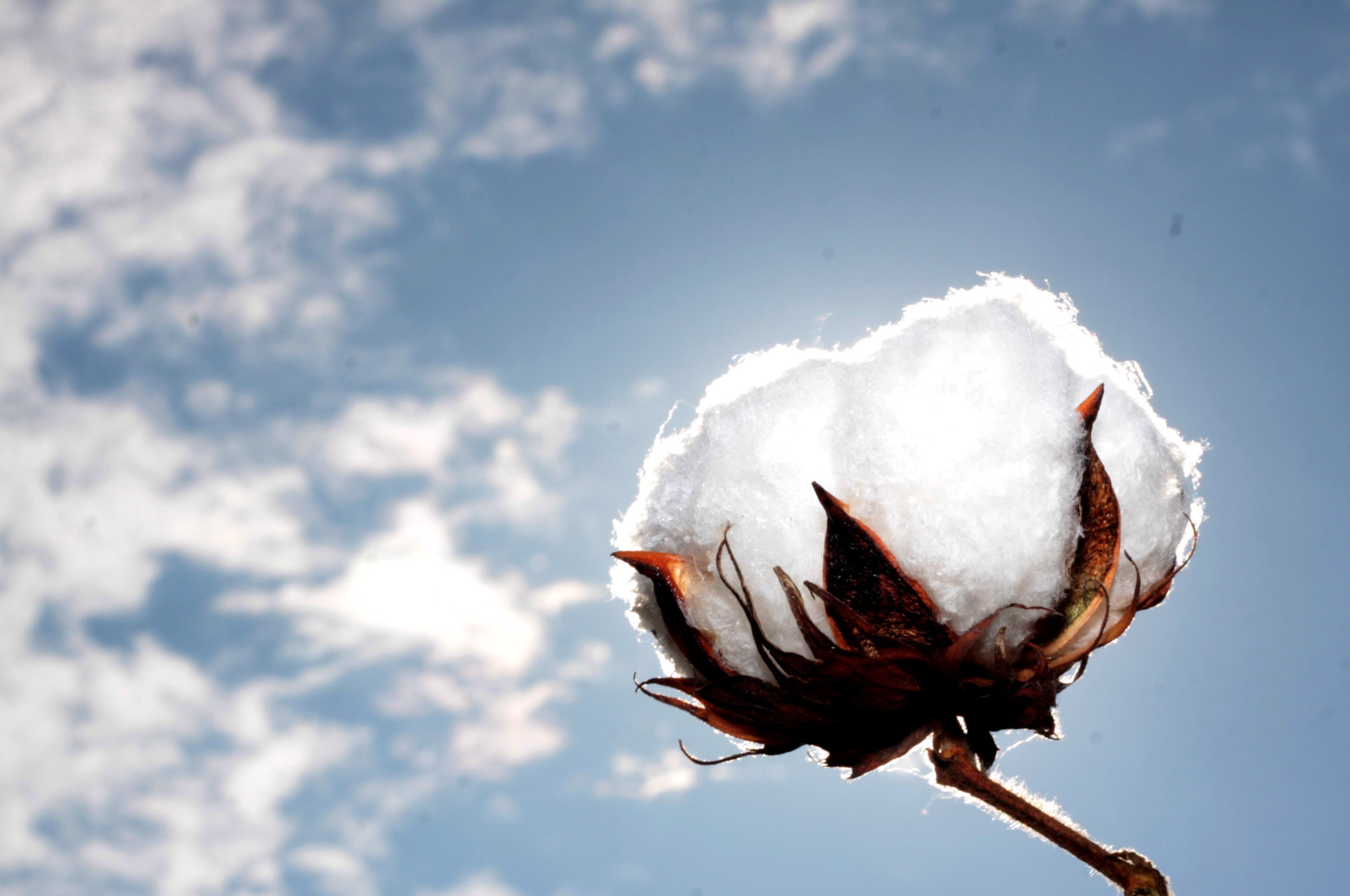 Resultado de imagem para algodão